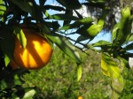 Oranges in the backyard.