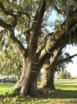 Pair of live oaks.