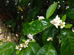 Orange blossoms in the back yard at River House Hanoverians.